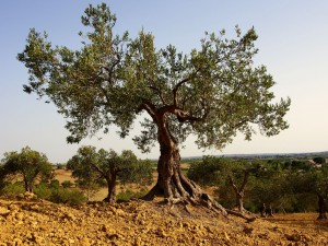 Olivenbaum1920